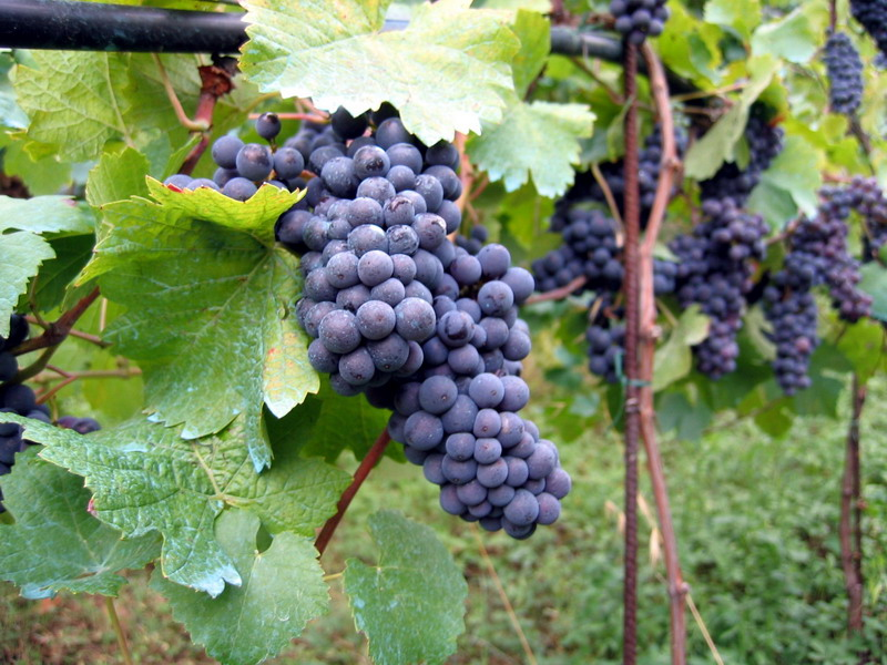 http://nearemmaus.files.wordpress.com/2011/01/vineyard_in_montone.jpg